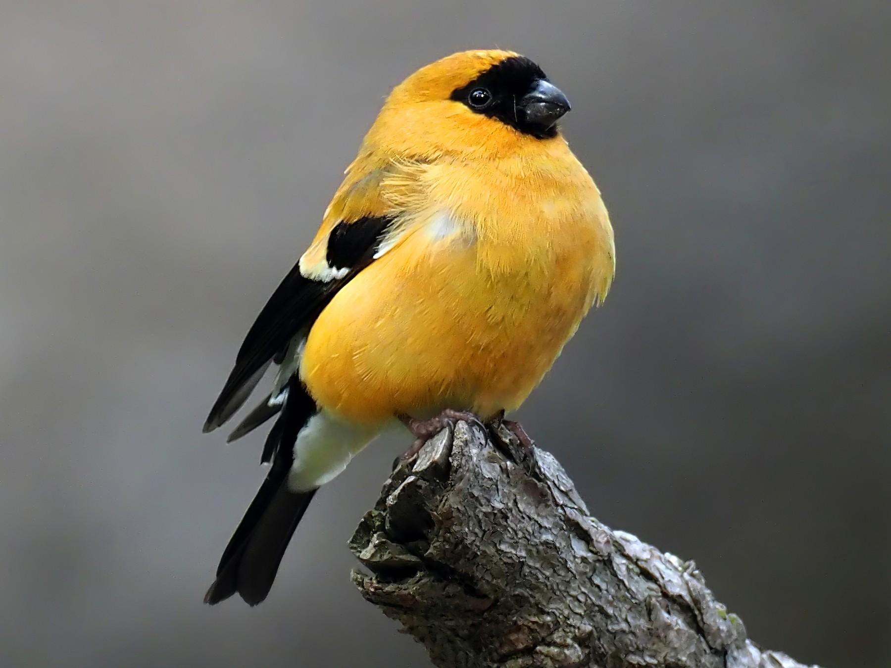 Nice Bullfinch