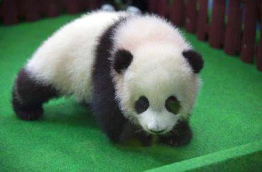 Top Baby Panda