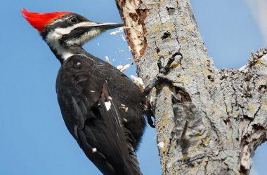 Top Woodpecker