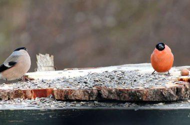 Widescreen Bullfinch