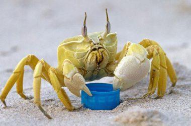 Amazing Ghost Crab