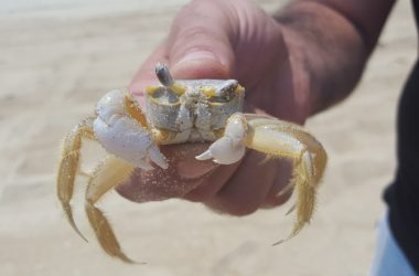 Animal Ghost Crab