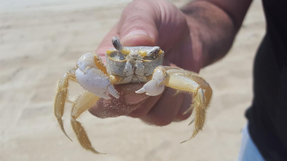 Animal Ghost Crab 32676