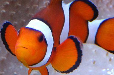 Awesome Clownfish Image