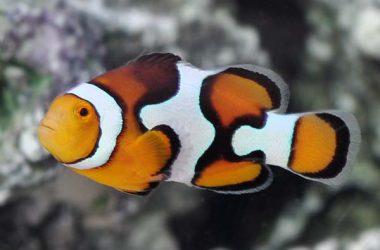Colorful Clownfish Image