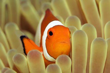 Super Clownfish Image