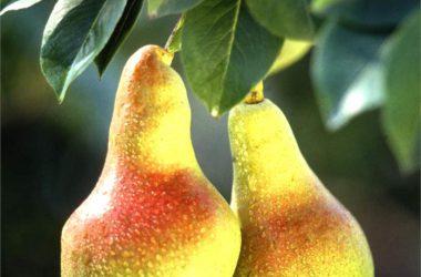 Widescreen Pear Fruit