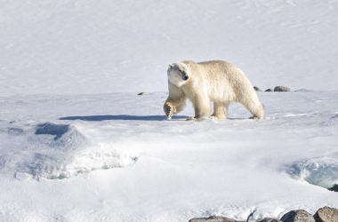 Animal White Bear