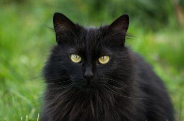 Best Black Cat