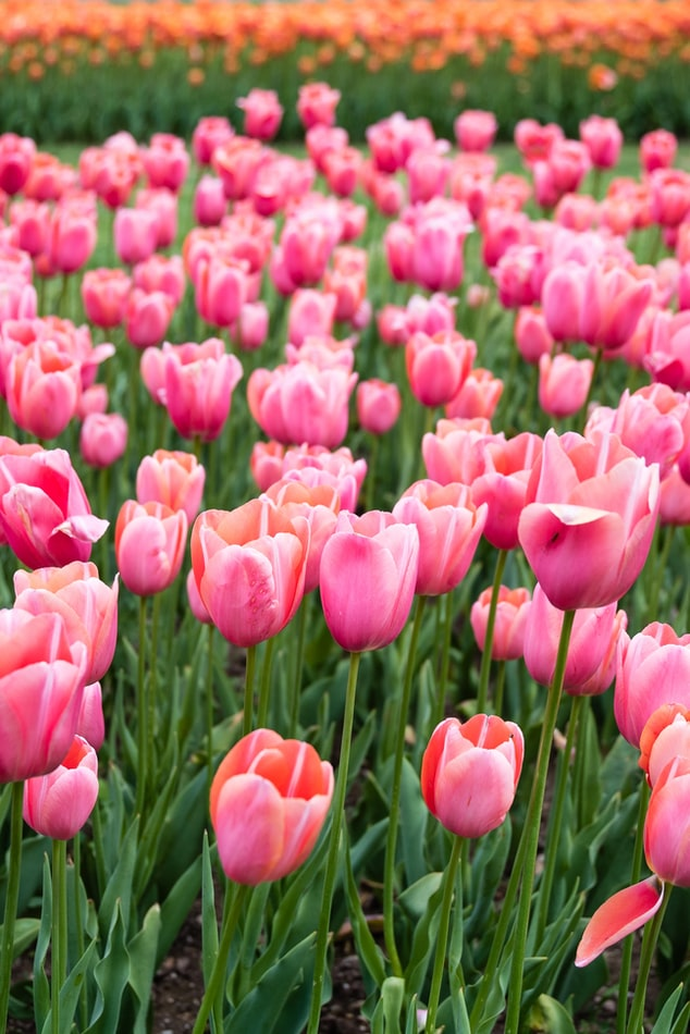 Free Pink Tulip
