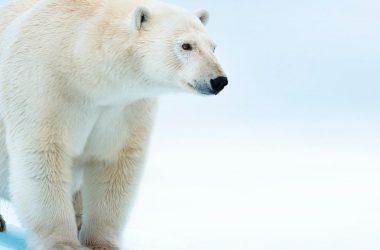 Free White Bear