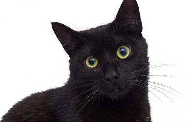 Natural Black Cat