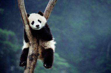 Animal Panda Wallpaper