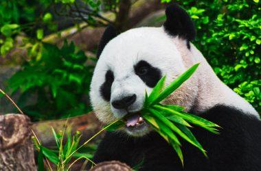 Best Panda Wallpaper