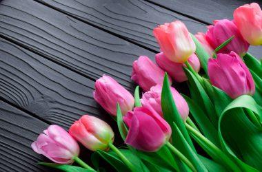 Colored Tulip Flower Photo