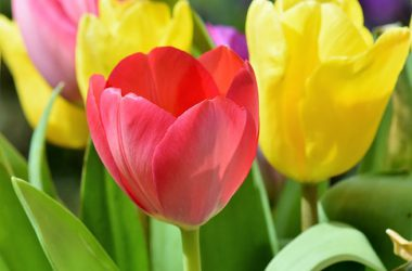 Colorful Tulip Flower