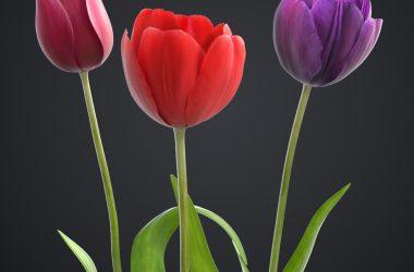 Natural Tulip Flower