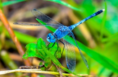 Blue Dragonfly 33863