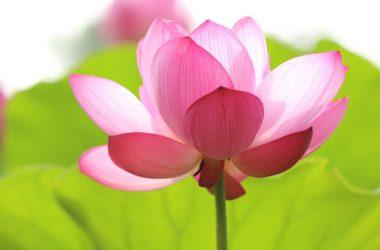 Landscape Pink Rose