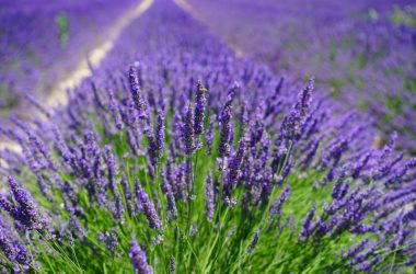 Nice Lavender