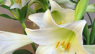 Nice Lily Flower