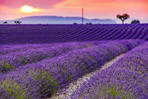 Sundown Lavender