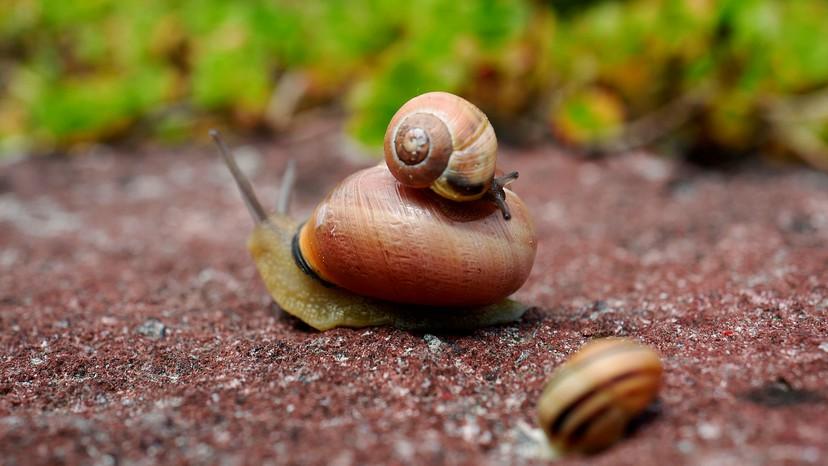 Top Snail Image