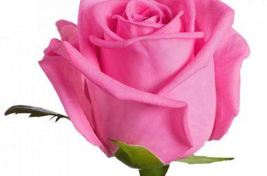 Wonderful Pink Rose