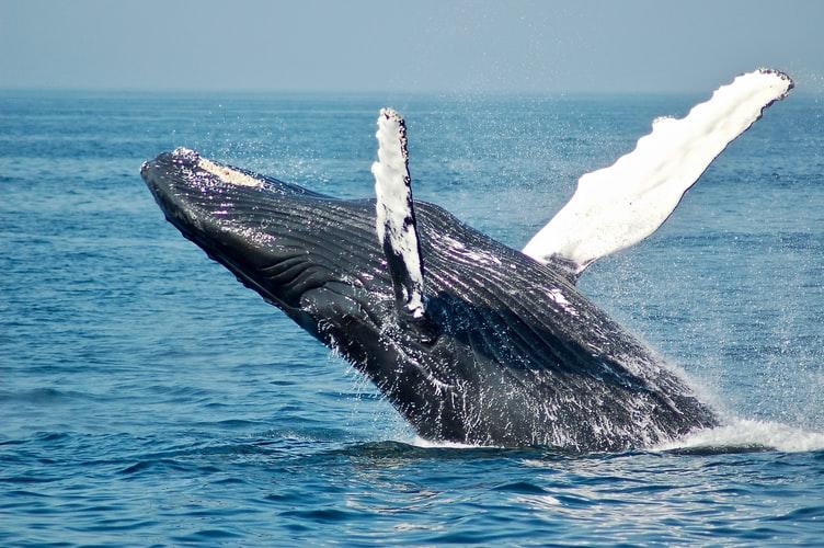 Big Whale Wallpaper