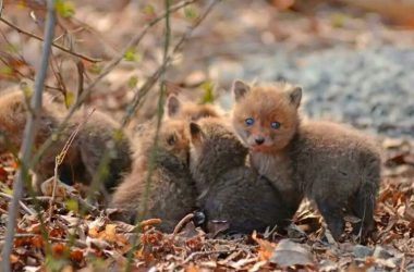 Brown Baby Fox