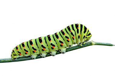 Dirty Caterpillar