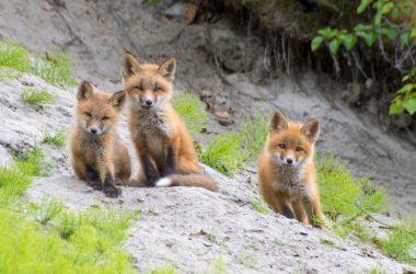 Super Baby Fox