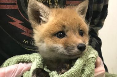 Top Baby Fox