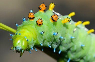 Top Caterpillar
