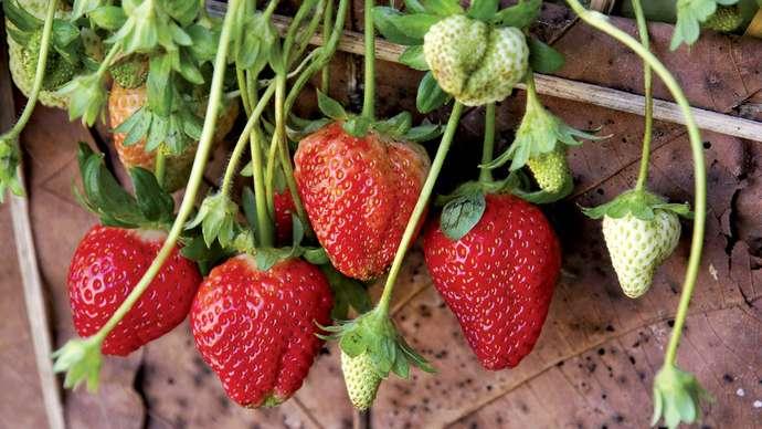 Top Strawberry