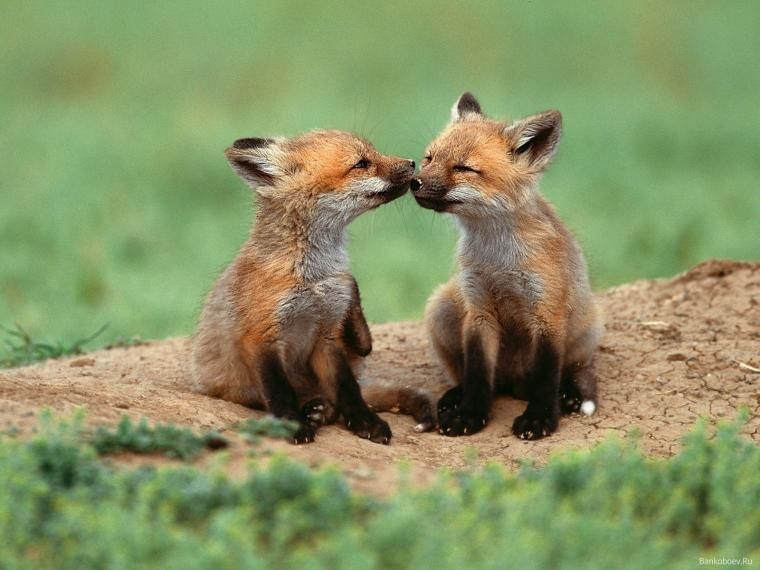 Widescreen Baby Fox