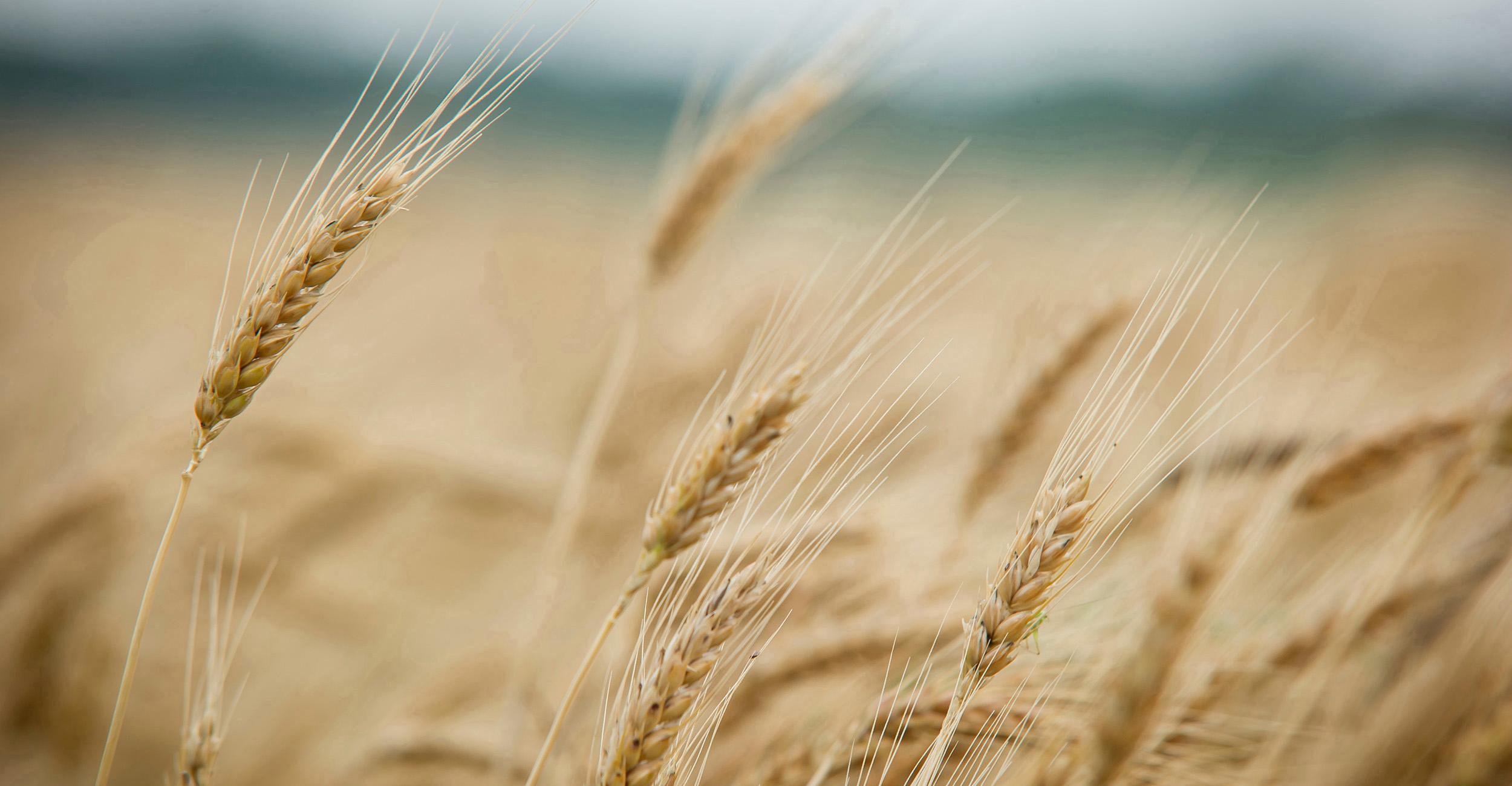 2021 Wheat Field