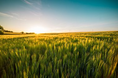 Cool Wheat Field