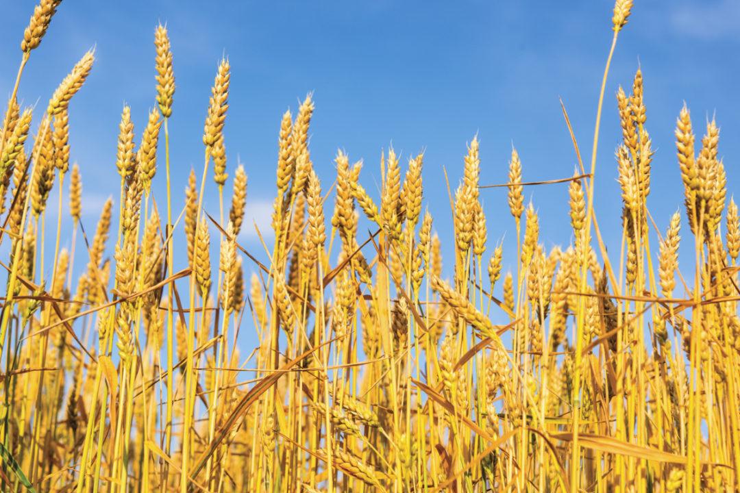 Free Wheat Field