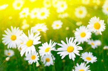 Nice Daisy Flower