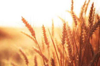 Nice Wheat Field