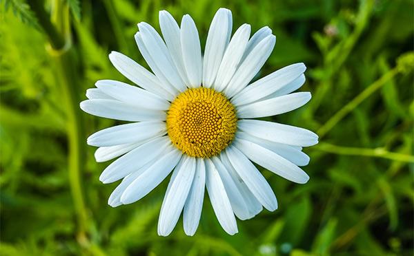 Widescreen Daisy Flower