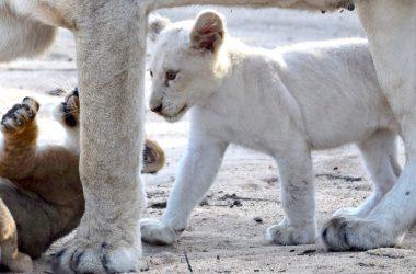 Beautiful White Lion Image