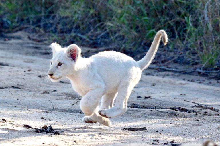 Best White Lion