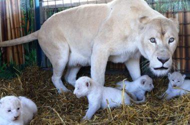 Free White Lion