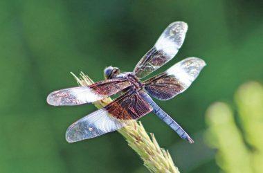 Landscape Dragonfly