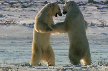 Strenght Polar Bear