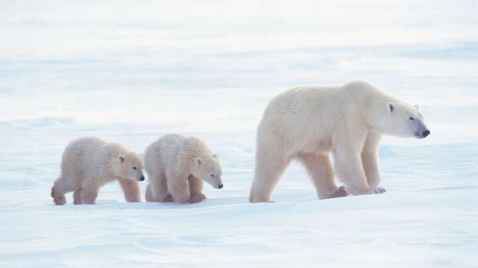Top Polar Bear