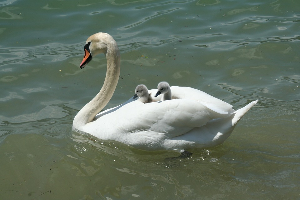 Beautiful Baby Swan