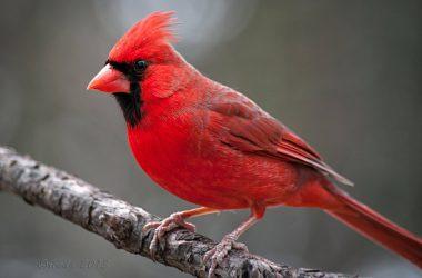 Best Cardinal Bird